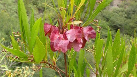 Cómo cuidar la dodonaea o arbusto de lúpulo